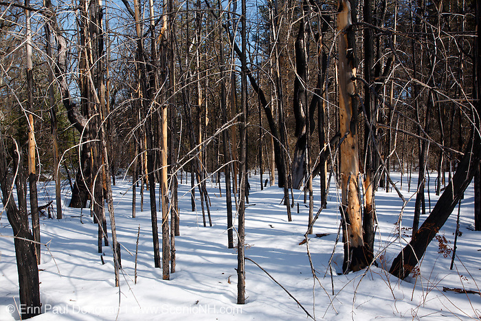 Remnants of a burnt forest along the Kancamagus Highway (route 112), which is one of New England's scenic byways in the White Mountains, New Hampshire USA