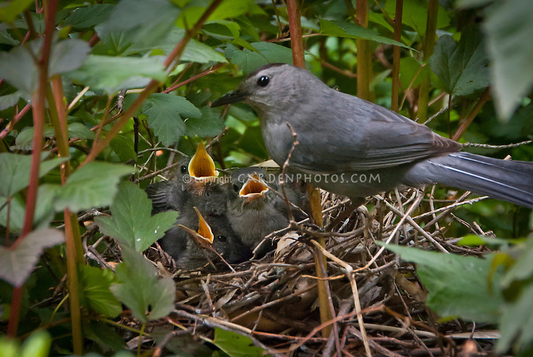 Catbird bird nest in Physocarpus, babies, three baby birds and adult parent, Gray catbird Dumetella carolinensis