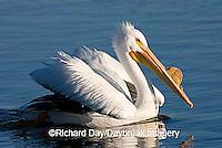 00671-008.19 American White Pelican (Pelecanus erythrorhynchos)  Riverlands Environmental Demonstration Area,  MO
