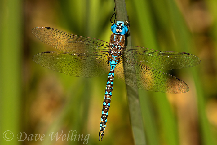 339360003 a wild male blue-eyed darner rhionaescna multicolor perches on a tall reed along piru creek los angeles county california united states