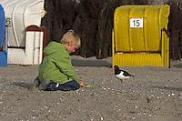 Kind füttert Austernfischer am Strand aus der Hand, Austern-Fischer, Haematopus ostralegus, Oystercatcher, Huîtrier pie