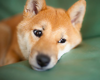 Shiba Inu by Los Angeles Photographer, Steven Bushong.  Portraits of our canine, feline and other friends in studio or on location.