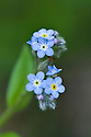 Forget-me-not (Myosotis arvensis), Surrey, early June.