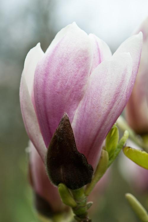 Magnolia x soulangeana, late March.