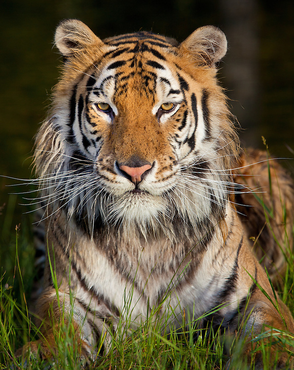 Siberian Tiger lying and watching from the grass - CA
