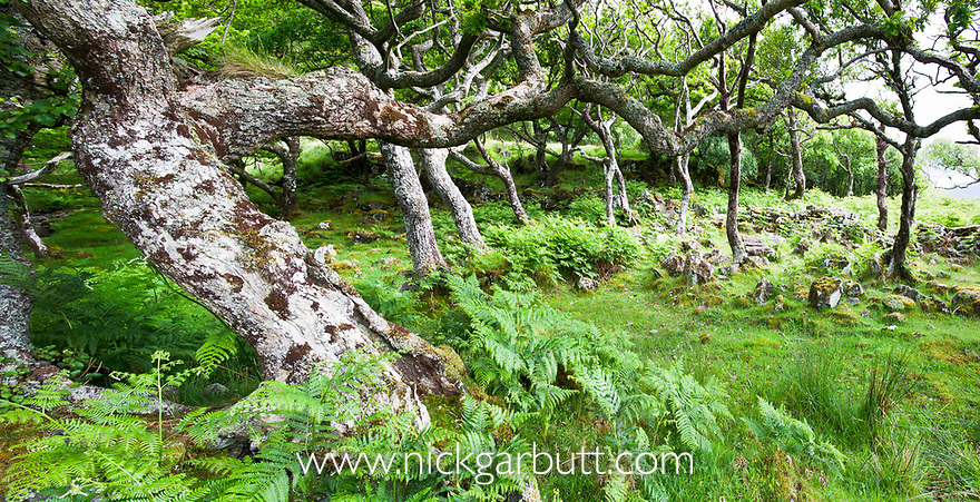 Ancient Oak woodland (Quercus sp.) at Scarsdale Wood, coast of Isle of Mull, Scotland.