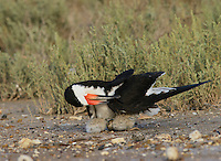 Black Skimmer (Rynchops niger), adult with young preening, Port Isabel, Laguna Madre, South Padre Island, Texas, USA