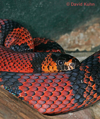 0218-08vv  Honduran Milk Snake, Lampropeltis triangulum hondurensis © David Kuhn/Dwight Kuhn Photography