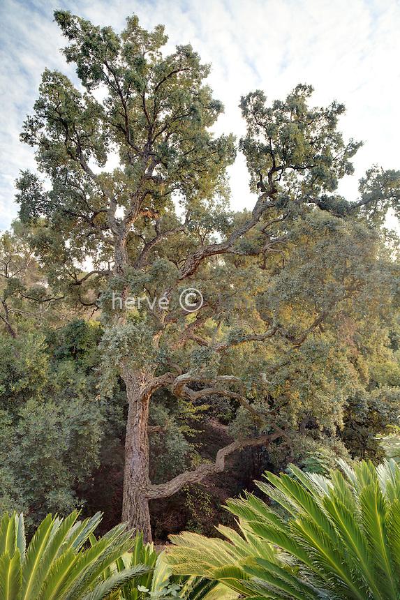 Domaine du Rayol en novembre : depuis le jardin d'Asie subtropicale derrière des Cycas revoluta un gros chêne-liège (Quercus suber)