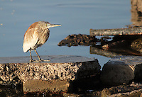 Stock photo: Indian pond heron bird standing on a rock near Randarada lake in Gujarat, India.