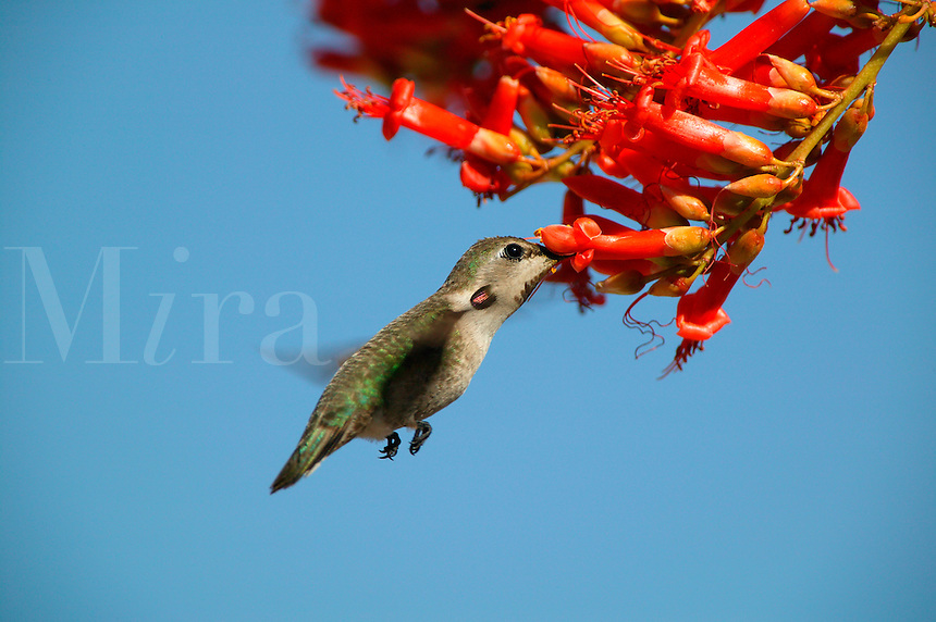 A humming bird and an Ocotillo (Fouquieria splendens) cactus bloom near Joshua Tree National Park,  California.