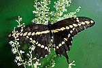 Giant Swallowtail Butterfly, Papilio cresphontes