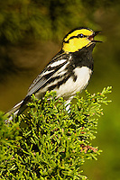 591850036 a wild federally endangered male golden-cheeked warbler setophaga chrysoparia - was dendroica chrysoparia - perches in a fir tree in the texas hill country texas united states