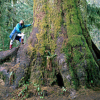 Hiker at Base of Giant Sitka Spruce Tree (Picea sitchensis), in Old Growth Temperate Rainforest, Carmanah Walbran Provincial Park, West Coast Vancouver Island, BC, British Columbia, Canada (Model Released)