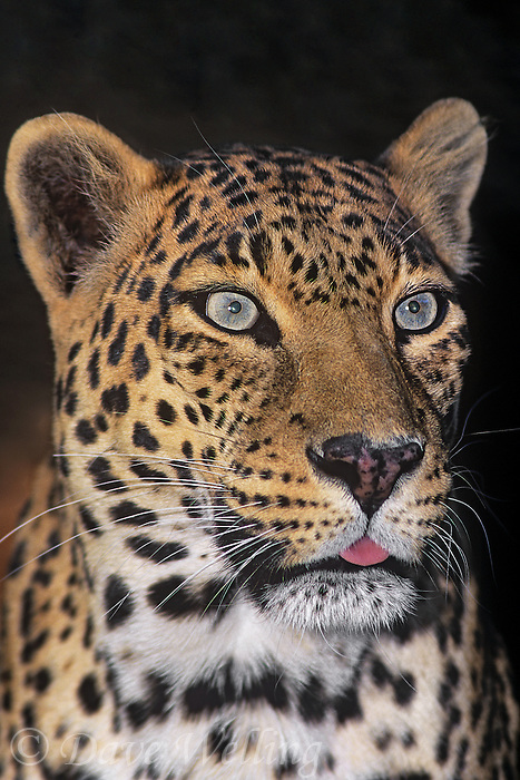 654309074 portrait of an adult male african leopard panthera pardus - animal is a wildlife rescue - species is native to sub-saharan africa