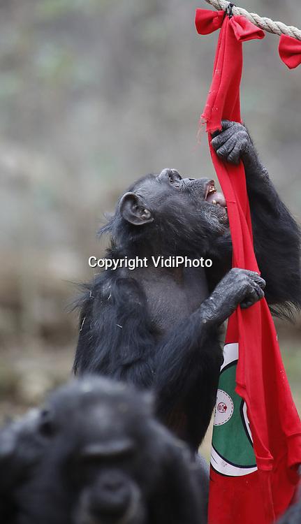 Foto: VidiPhoto<br /> <br /> ARNHEM &ndash; Foute Kersttruien voor de Chimpansees Maleise beren donderdag in Burgers&rsquo; Zoo in Arnhem. De truien waren gevuld met gezonde hapjes. Voor de dieren was het niet alleen een creatieve gedragsverrijking, maar het Arnhemse dierenpark v vraagt hiermee ook aandacht voor het initiatief &ldquo;Foute Kersttruiendag&rdquo; van Save the Children dat op vrijdag 14 december 2018 wordt gehouden. Die dag is bedoeld om geld in te zamelen voor kinderen in oorlogsgebieden en landen waar honger heerst. Op vrijdag 14 december komen in heel Nederland scholen, bedrijven en verenigingen in hun foute kersttrui in actie voor kinderen in nood onder het motto &ldquo;Een echte held verzamelt geld.&rdquo; Foute Kersttruiendag vindt dit jaar voor de derde keer plaats. Natuurlijk onderzoekende gedrag stimuleren door voedsel op verrassende wijze aan te bieden, wordt in vrijwel alle dierentuinen op verschillende manieren toegepast.