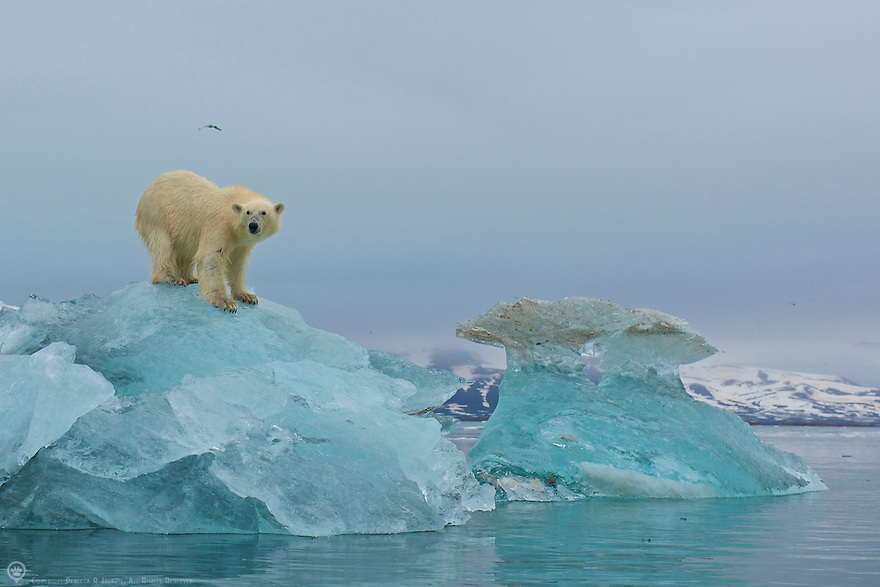 Polar bear scans the surrounding area for seals from the top of a large piece of glacial ice in Liefdefjorden, Spitsbergen, Svalbard.