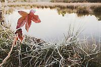 American Sweetgum (Liquidambar styraciflua), leaf at edge of beaver pond, Lillington, North Carolina, USA