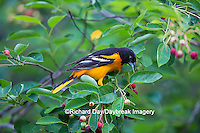01611-09717 Baltimore Oriole (Icterus galbula) male eating serviceberry (Amelanchier canadensis)  Marion Co., IL