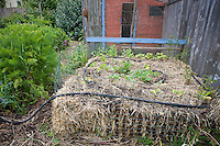 Hay bale and compost raised bed vegetable bed with soaker hose in Amy Stewart's garden