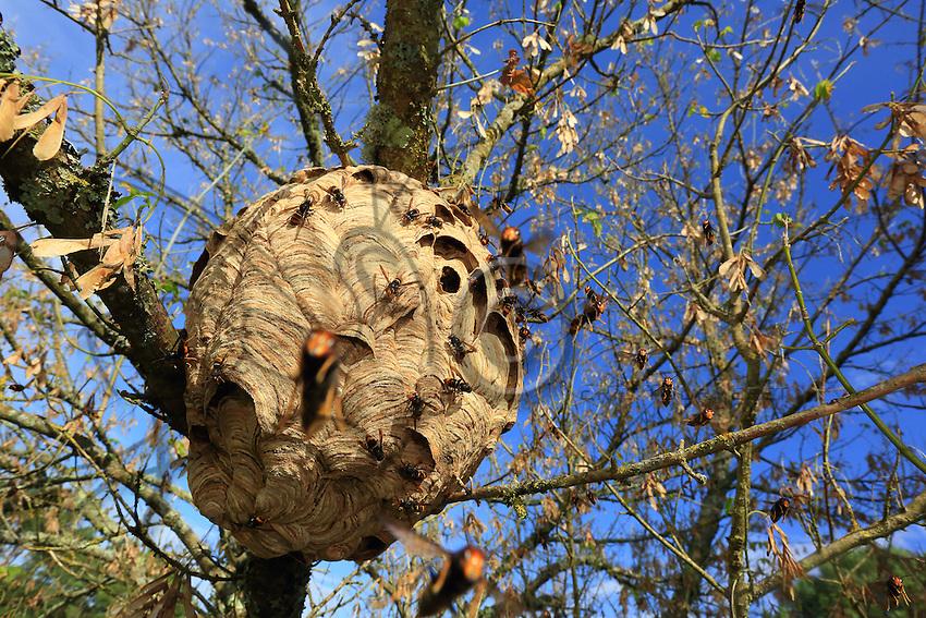 Near the nest, the hornets summarily attack any intruder.///Près du nid, les frelons attaquent sans ménagement tout intrus.