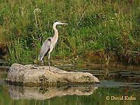 0812-06xx  Great Blue Heron - Ardea herodias © David Kuhn/Dwight Kuhn Photography