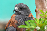 Puna Hawk, Buteo poecilochrous, Peru, captive, found in mountain region, portrait. .South America....