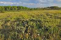 Wildflowers in grassland prairie, Cypress Hills Provincial Park, Saskatchewan, Canada
