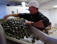 "R.I. Quahogger, John ""Jackie"" Bannon works sorting the Quahogs he caught on Narragansett Bay, in Rhode Island"