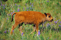 Young Bison calf  (Bison bison) walking among wildflowers..Montana.