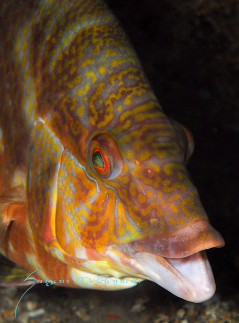 Hogfish Close up portrait mouth open, Intermediate displaying high coloration patterning, Lachnolaimus maximus, Underwater Marine life Behavior, Blue Heron Bridge, Lake Worth Inlet, Riviera, Florida, USA, Intra Coastal Waterway, North Atlantic Ocean.8-1-10-322