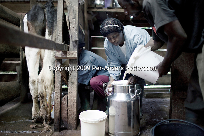 AKUM, CAMEROON - AUGUST 7: Mary Sirri Ndikum, age 54, a dairy farmer, milks a cow on her farm on August 7, 2009 in Akum, Cameroon. Many small farmers in the area are struggling to cope with low milk prices, expensive inputs and competing with low priced milk powder, that is heavily subsidized by European governments and dumped on international markets such as in Africa. Mary owns several dairy cows, delivers fresh milk everyday to a dairy nearby and makes her own yogurt. (Photo by Per-Anders Pettersson).....