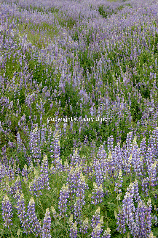Riverbank lupine on Schoolhouse Peak<br />