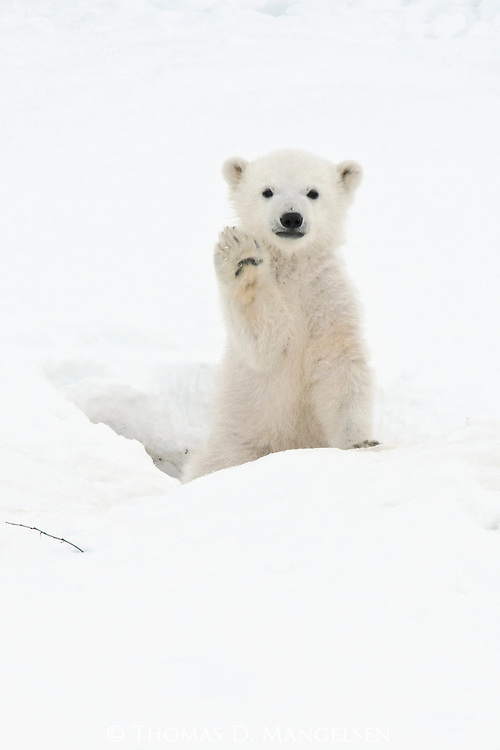 "As if to say hi, this tiny polar bear cub ""waves"" his furry paw in greeting to his new world as he comes out of the den in Manitoba, Canada."
