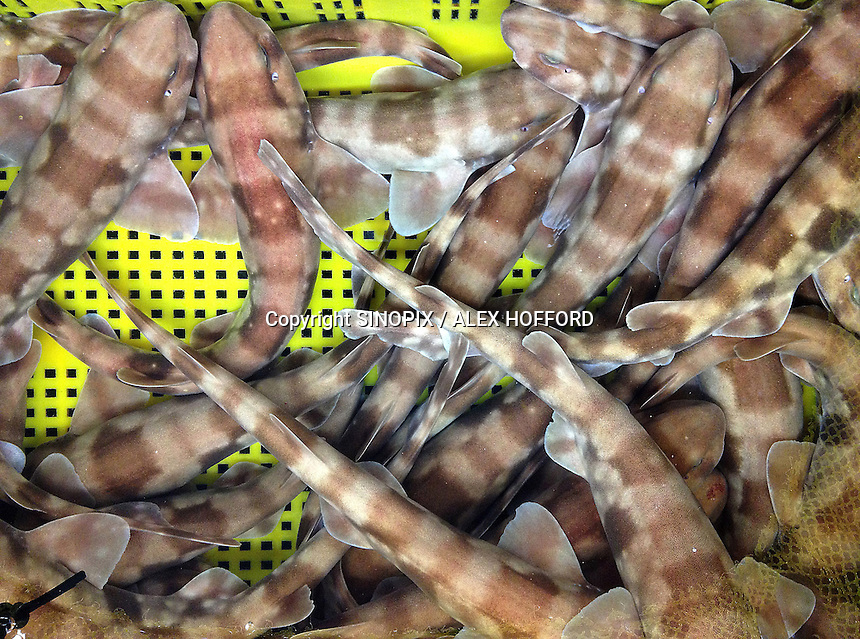 Bamboo sharks are seen for sale in the wholesale fish market in Busan, South Korea, 09 July 2013. Bamboo sharks can grow to up to three feet long and are listed on the 'Red List' of threatened species of the International Union for the Conservation of Nature (IUCN) as 'near threatened'. Overfishing is rife in South Korea.