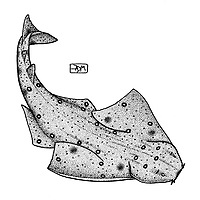 Smoothback angelshark, Squatina oculata, swimming, pen and ink illustration.