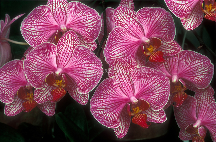 Phalaenopsis, pink striped Moth Orchid hybrid