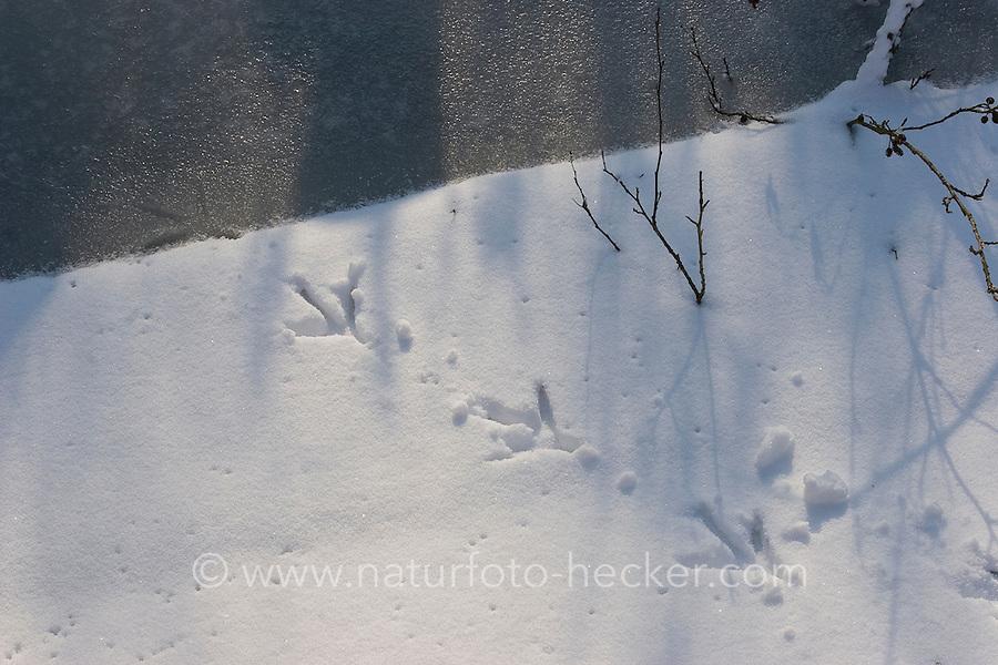 Graureiher, Fischreiher, Fußabdruck, Fuss-Abdruck auf schneebedeckter Eisfläche am Gewässerrand, Grau-Reiher, Reiher, Ardea cinerea, Grey Heron, Héron cendré