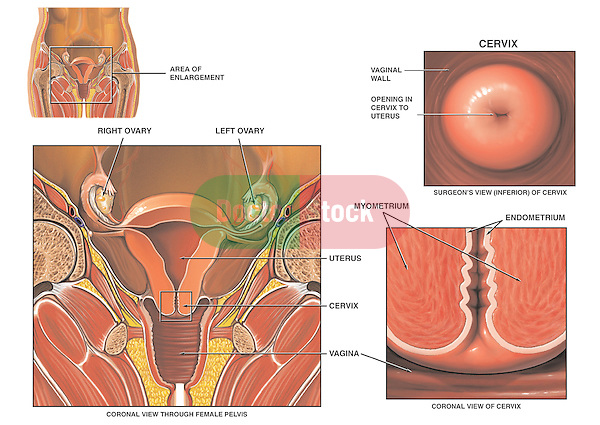 Anatomy of the Cervix | Doctor Stock