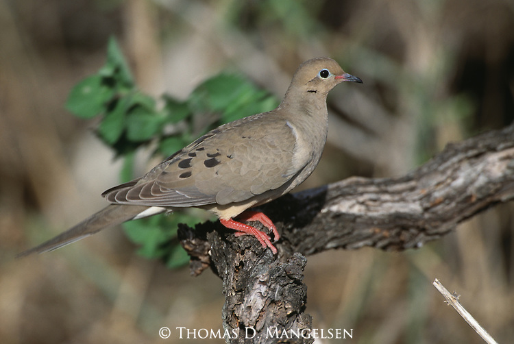 Mourning Dove perched in a tree in South Texas.