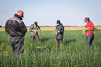 Migrant labour harvesting salad onions - Lincolnshire