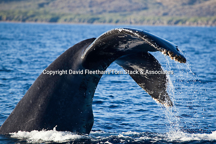 This female humpback whale, Megaptera novaeangliae, has lifted it's tail high enough to reveal the hemispherical lobe in it's genital area.  This bulge is not present on males.  Photographed off the coast of Lanai, Hawaii.