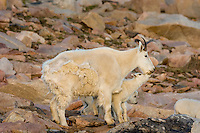 "Mountain Goat (Oreamnos americanus) nanny and kids among granite boulders in the Beartooth Mountains near the Wyoming/Montana border.  The nanny is shedding her heavy winter coat of fur to a new ""summer weight"" fur coat which will grow long again for the next winter.  Twins are fairly uncommon among mt. goats and one of these kids probably belongs to another nanny that is outside this photo.  Early morning light, July."