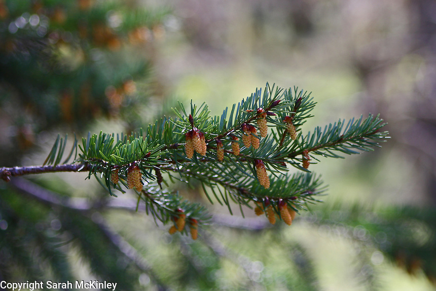 Tiny, young cones grow on the branch of a fir tree on Muir Mill Road in Willits in Mendocino County in Northern California.