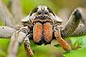 Spiders & other Arachnids