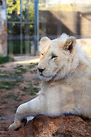 Stock image - white lion resting on a rock in a cage of Paphos animal park, Cyprus.<br />