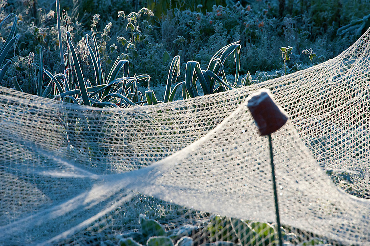 Early morning sunlight on frosted brassica netting, allotment site, late October.