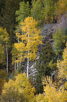 Aspen Tree in Golden Yellow Autumn Fall Colors, Colorado, USA.
