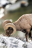 USA, Wyoming, Yellowstone National Park, Bighorn Sheep graze by the Yellowstone River, near the Tower-Roosevelt Junction