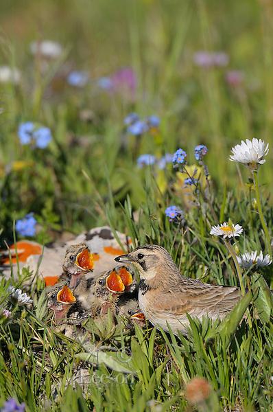 Female Horned Lark or Shore Lark (Eremophila alpestris) bringing food to young in ground nest.  Western U.S., Summer.